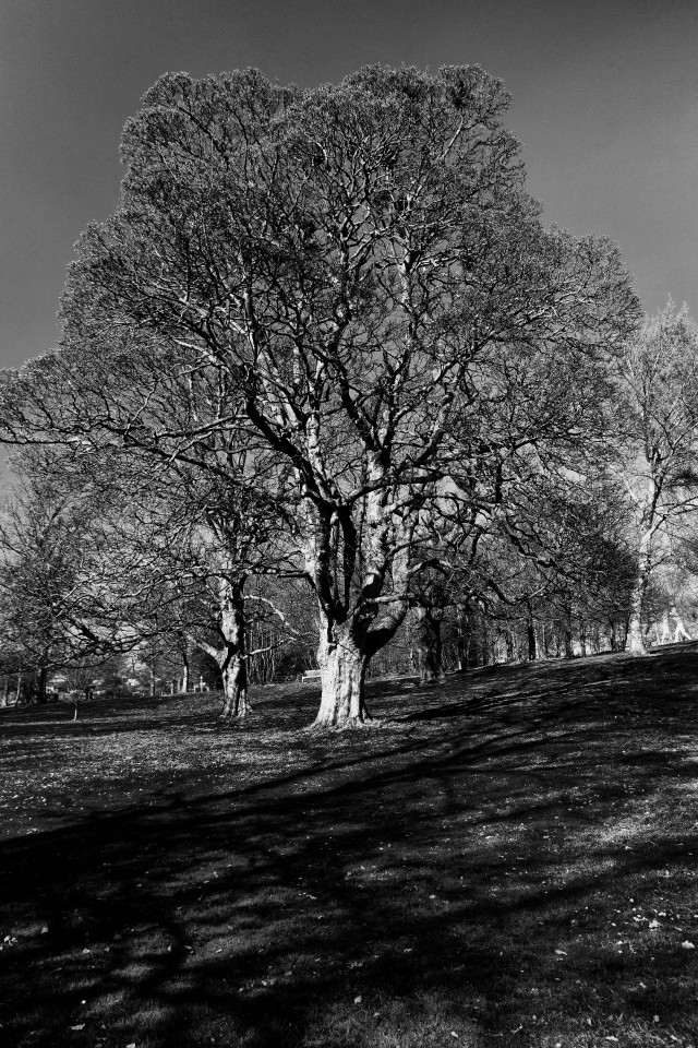 A majestic tree in black and white